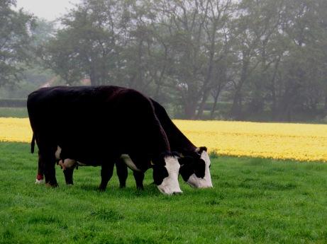 Vacas holandesas com tulipas amarelas ao fundo