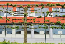 Jeito curioso de fazer cerca viva, muito presente na Holanda