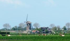 Moinhos e vacas leiteiras na Holanda