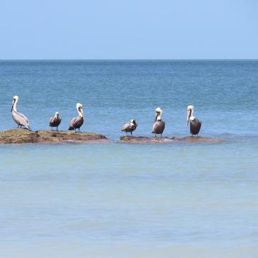 Aves marinhas em Holbox