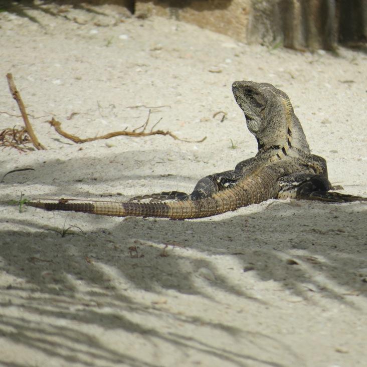 Iguana em Punta Cocos, Holbox